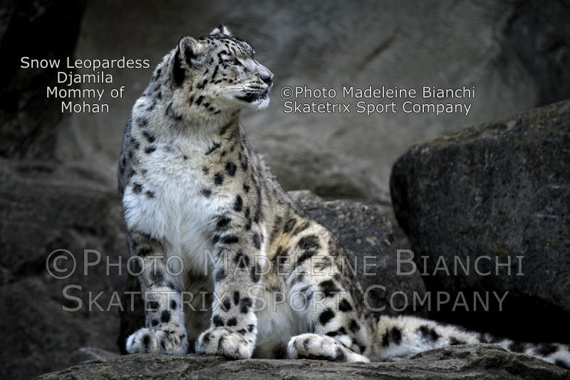 Snow Leopard Female DJAMILA