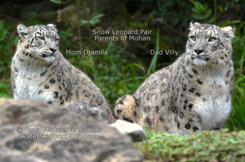 Snow Leopard Female DJAMILA, Male VILLY