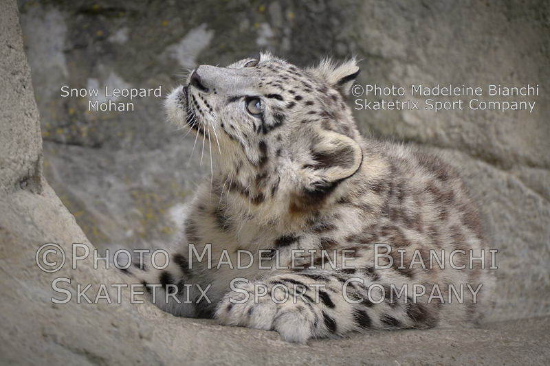 Little Snow Leopard Baby MOHAN