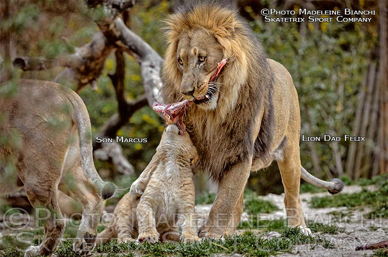 African Lion Tot MARCUS and his Daddy FELIX