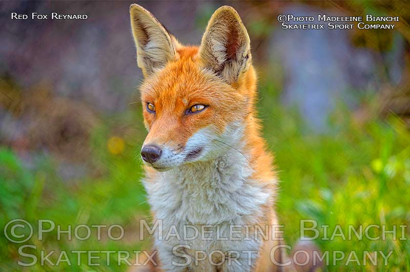 Red Fox REYNARD