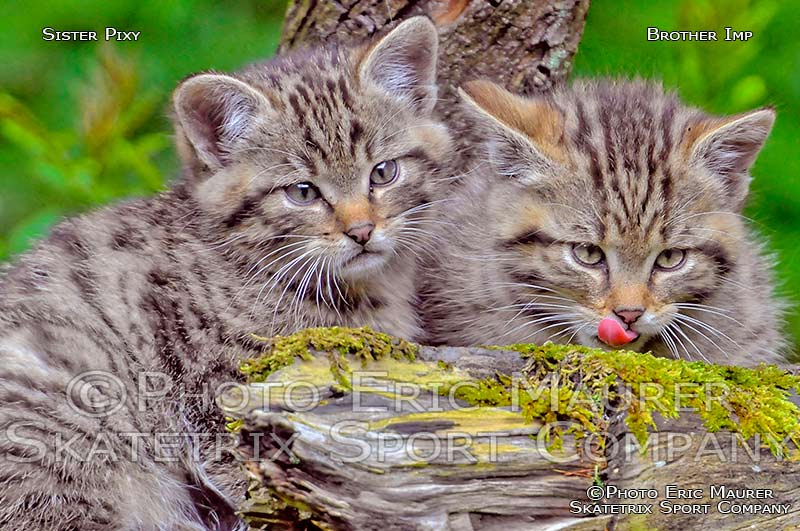 Little European Wildcat Sister PIXY and Brother IMP