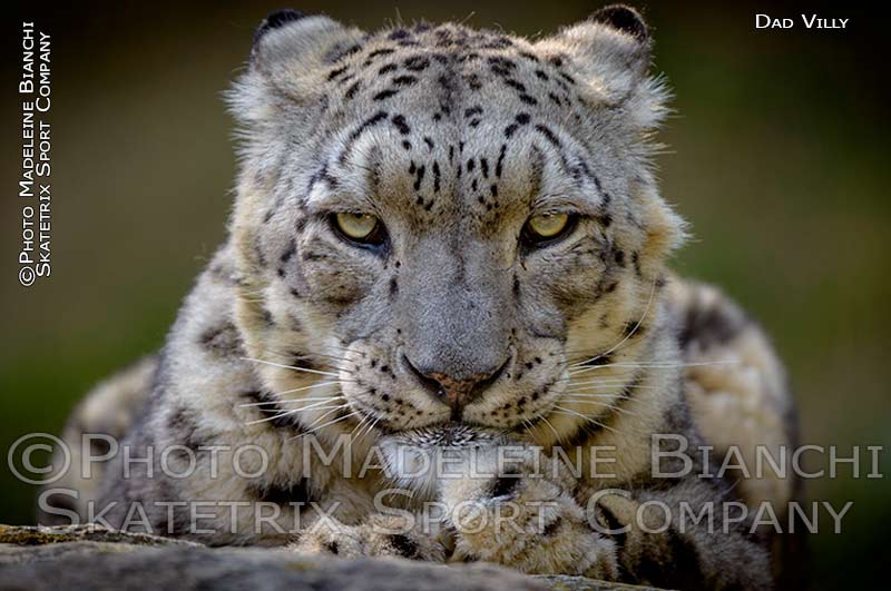 Snow Leopard Male VILLY