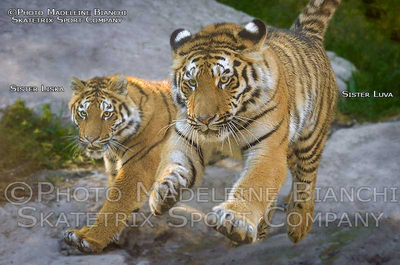 SIBERIAN TIGER GIRLS LISKA - LUVA
