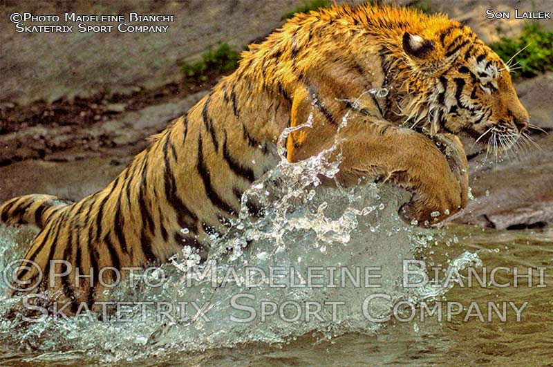 Siberian Tiger Male LAILEK