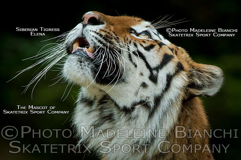 Siberian Tiger Tigress ELENA