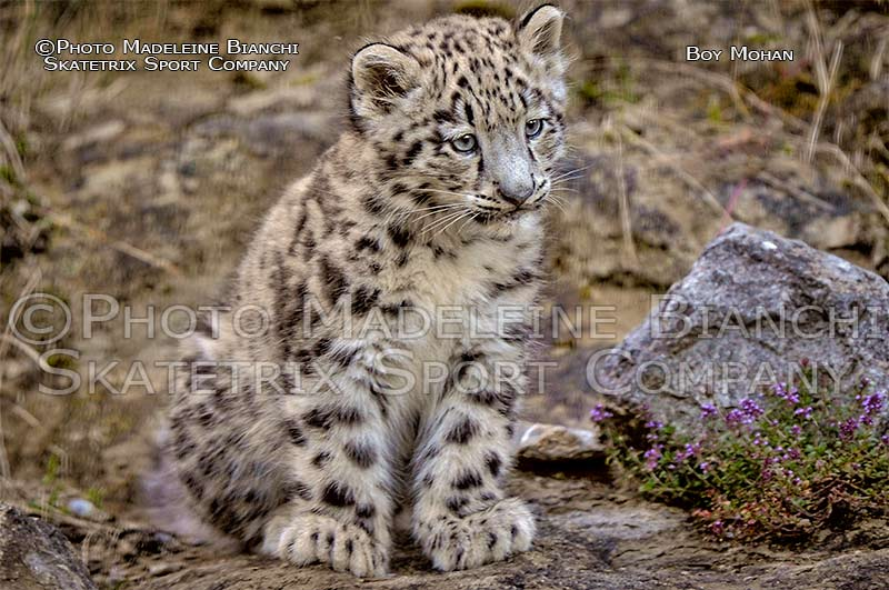 Snow Leopard Boy MOHAN