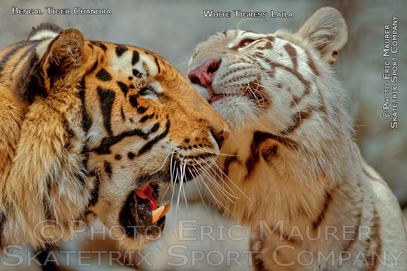 White Tigress LAILA - Brother CHANDRA